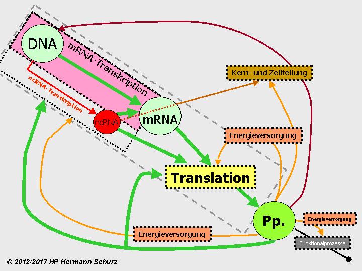 Gemütlich Mrna Und Transkription Arbeitsblatt Antworten Fotos ...